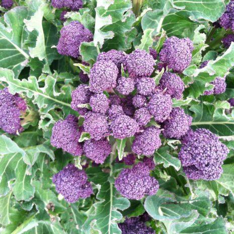 purple-broccoli-scaled-1.jpg